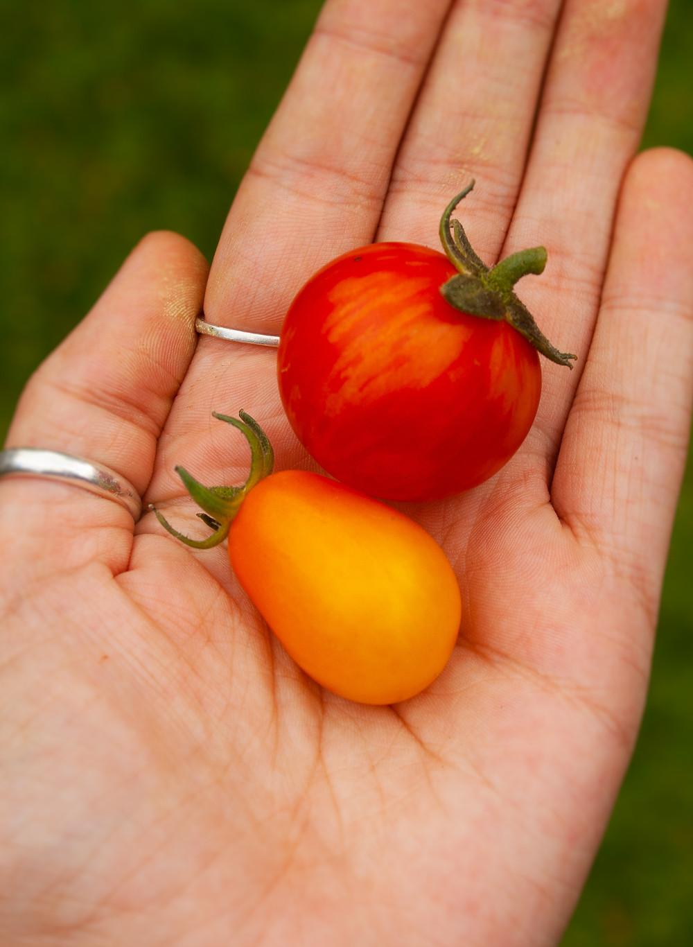 Homegrown tomatoes | Tomato Chutney | Vegan and gluten free recipe | Grow your own | The Dopey Vegan