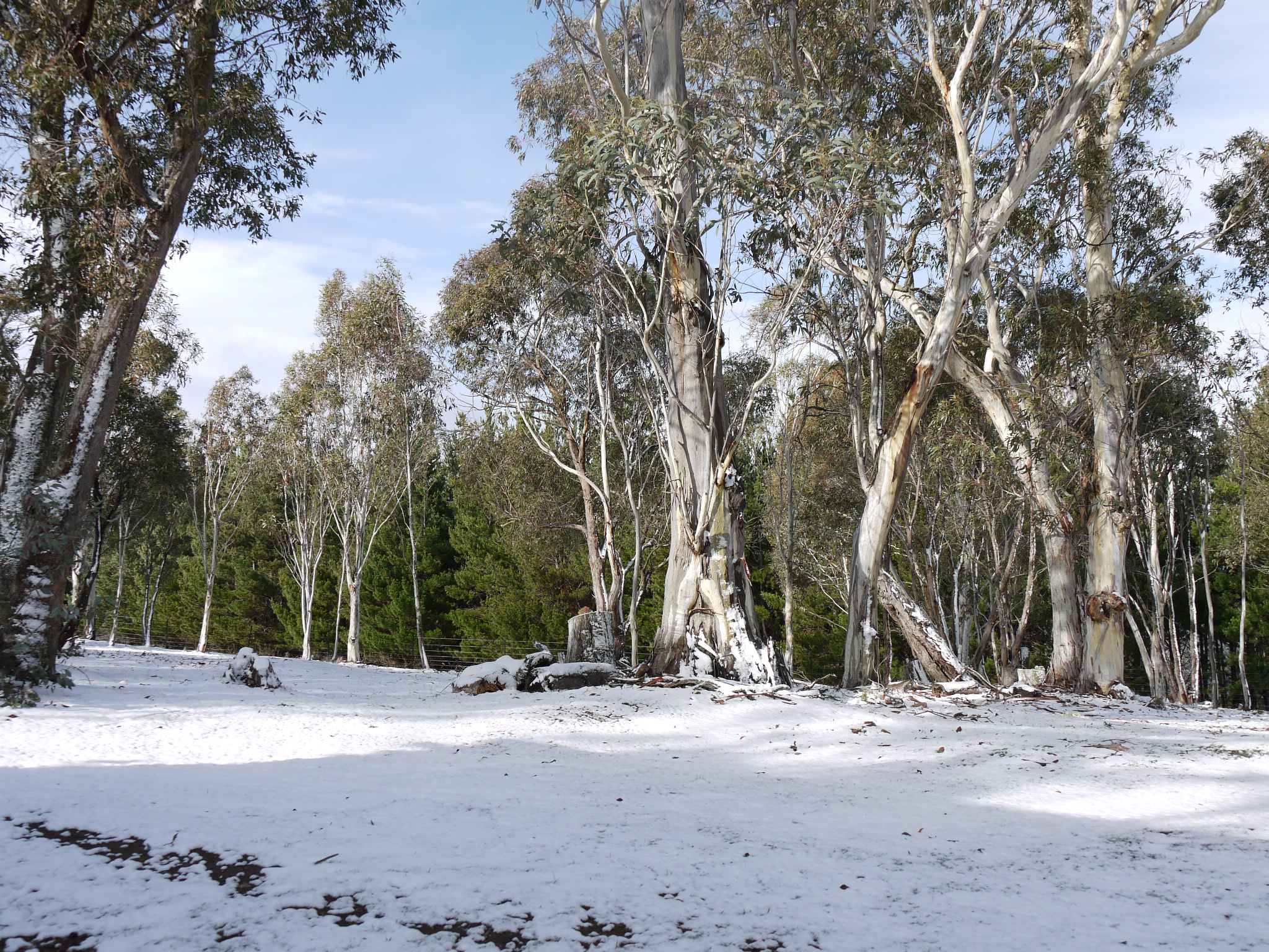White Sally Snow Gums