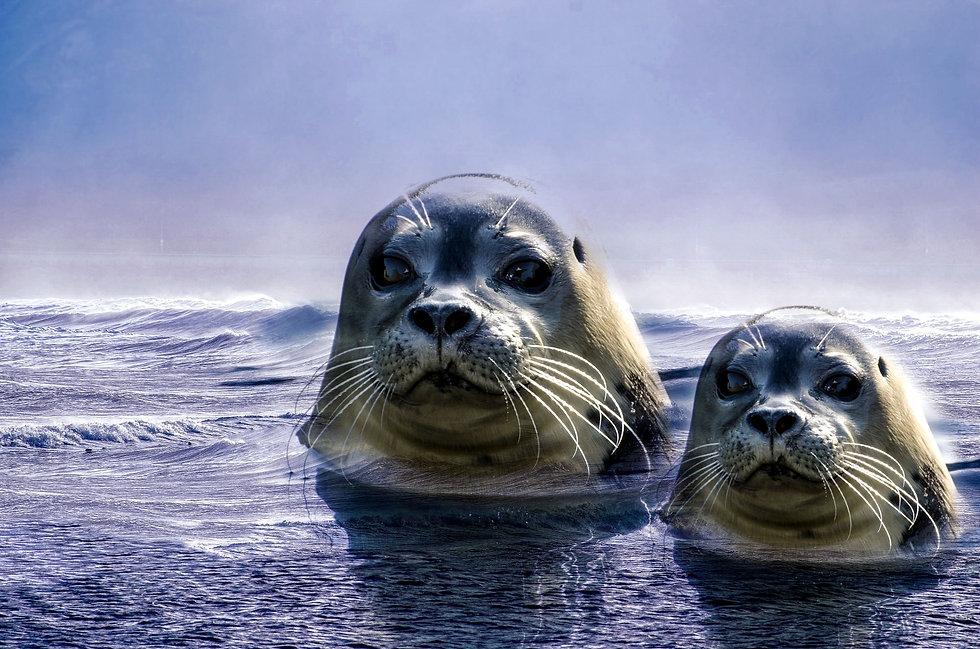 seal-2111574.jpg