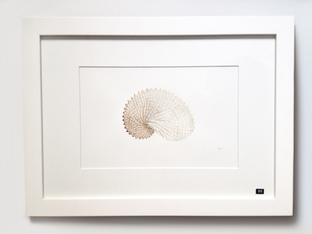 Paper Nautilus (Argonauta nodosa)
