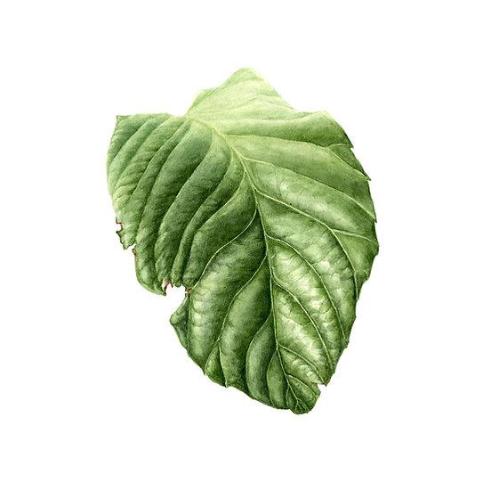 Loquat Leaf Giclée Print