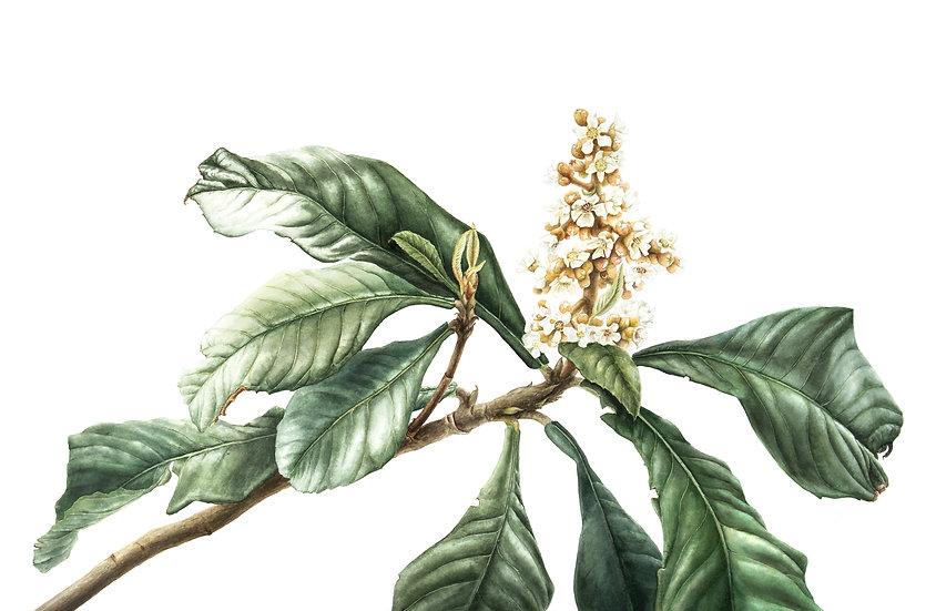 Flowering Loquat Giclée Print