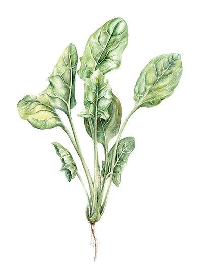 Spinach Giclée Print