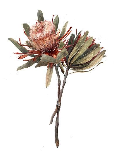 Protea Giclée Print