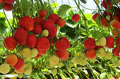 strawberry_small.jpg