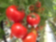 tomaat_Doorn.jpg