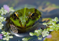 pond frog SMALL.jpg