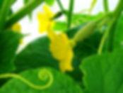 cucumber (2).jpg