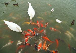 pond fish birds SMALL.jpg
