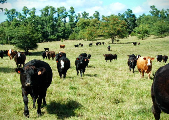 Cattle Approach