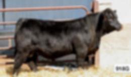 Northlan Bull 918G
