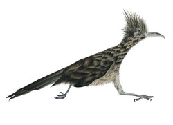 Greater Roadrunner of the American Southwest