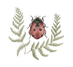 Lady Bug (Coccinella magnifica)