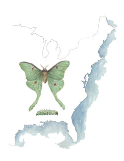Luna Moth on East Coast