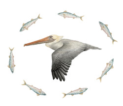 Brown Pelican & Atlantic Spanish mackerel