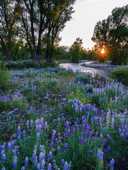 Spread Creek Lupine