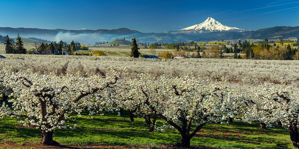 Mt Hood Orchard Blossoms