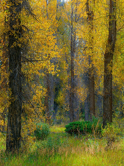 Cottonwoods in Color