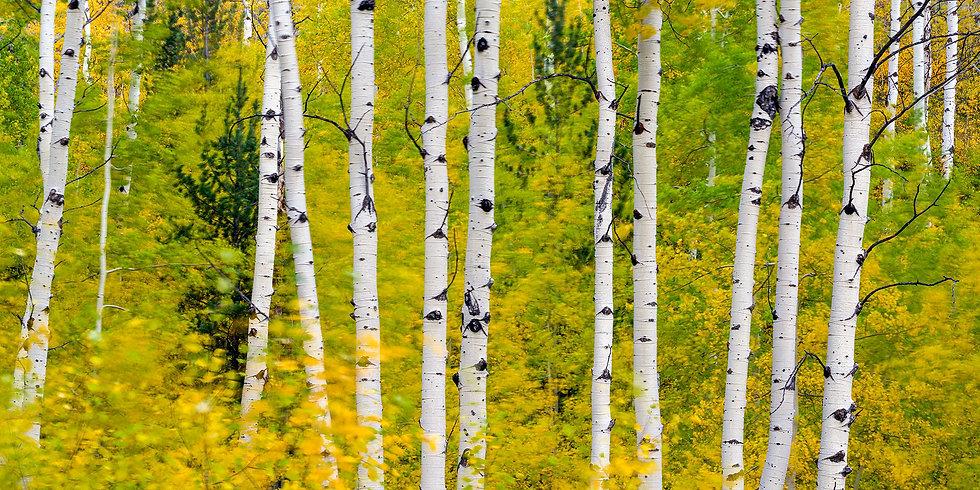 Windy Autumn Aspen
