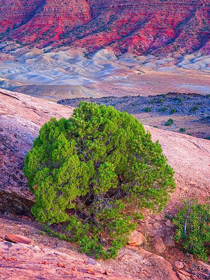 Pinyon Pine & Utah Cedar