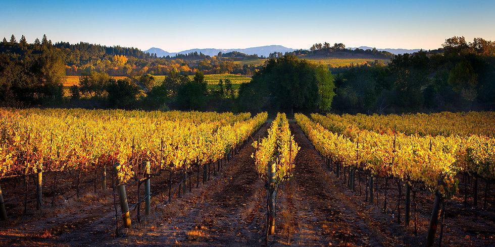 Sonoma Autumn Vineyard