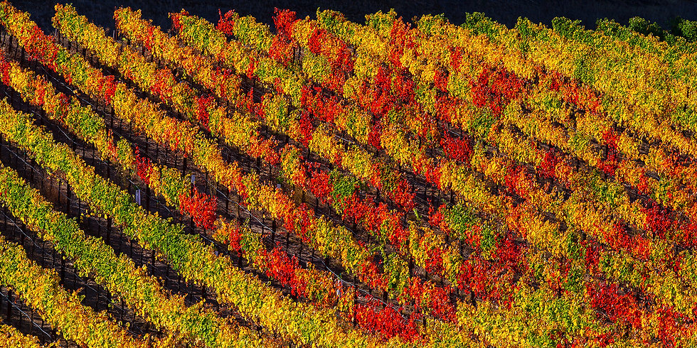 Red and Yellow Vineyard
