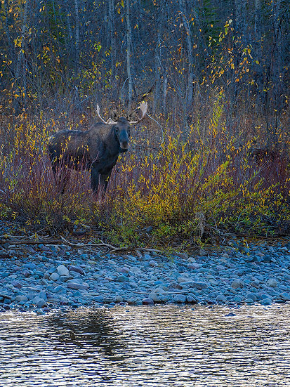 North Fork Moose