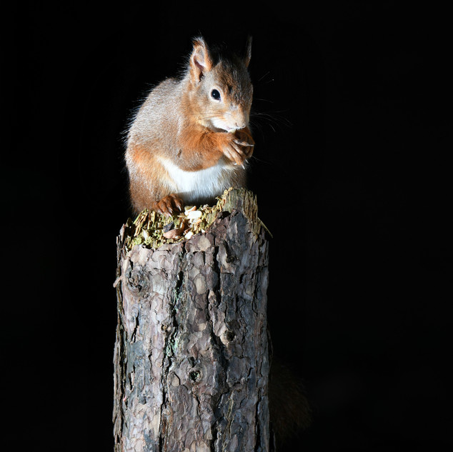 Red Squirrel - Formby Point 14