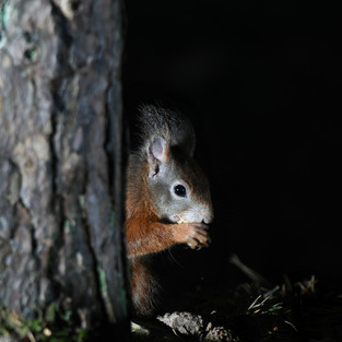 Red Squirrel - Formby Point 6