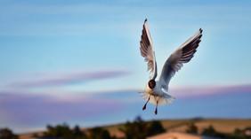 Hungry Gull