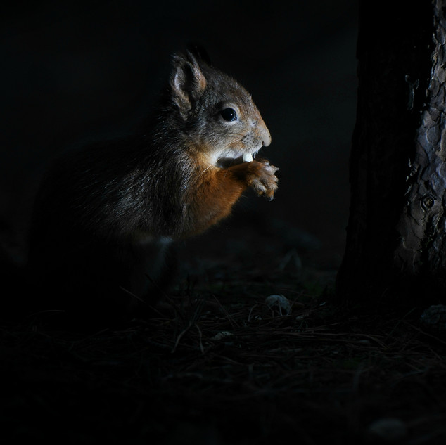 Red Squirrel - Formby Point 11