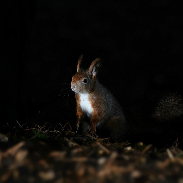 Red Squirrel - Formby Point 5
