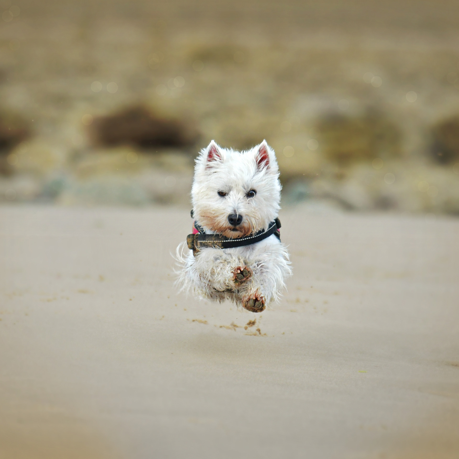 The Flying Westie