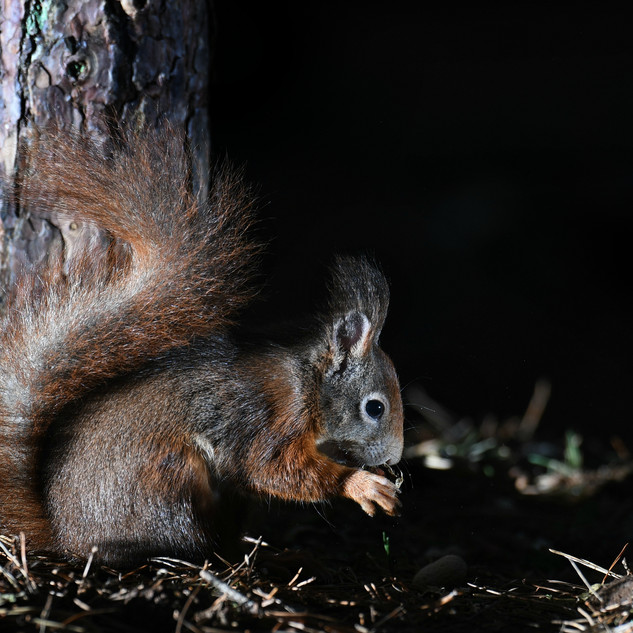 Red Squirrel - Formby Point 7