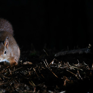 Red Squirrel - Formby Point 10