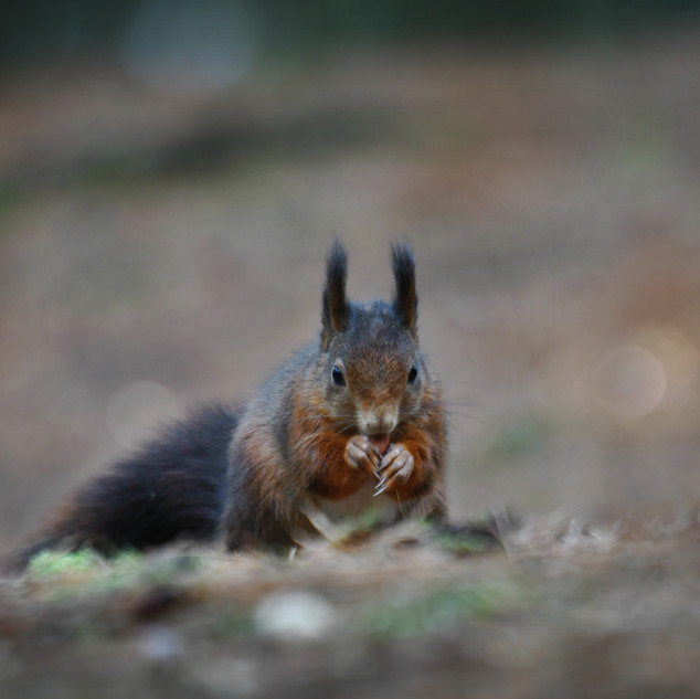 Red Squirrel - Formby Point 8