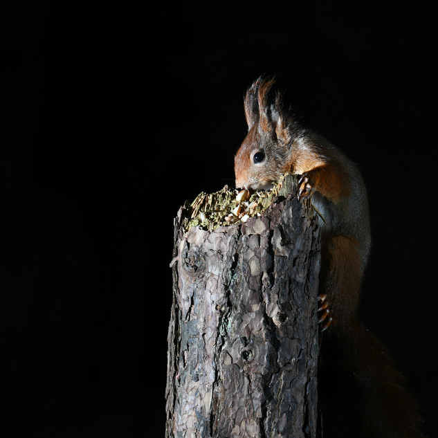 Red Squirrel - Formby Point 9