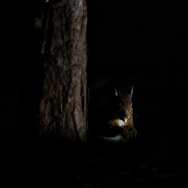 Red Squirrel - Formby Point 12