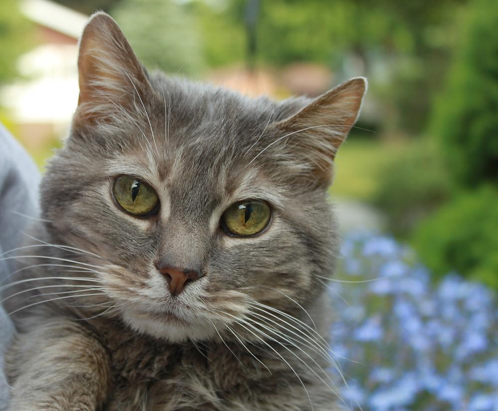 Gray Tiger Kittty