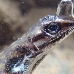 """Video Captures The Bizarre Way This Lizard Has Evolved To """"Breathe"""" Underwater"""