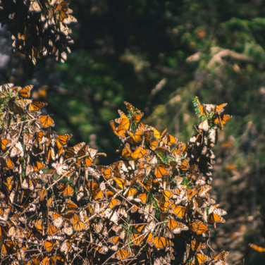 97% Decline In Population Sees Monarch Butterflies Flutter On The Brink Of Extinction
