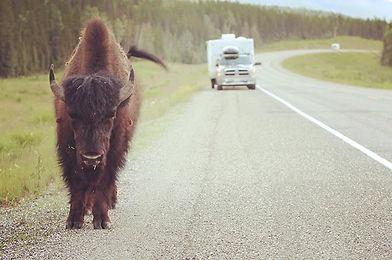 Yukon hitchhiking.__Bison, or buffalo, a