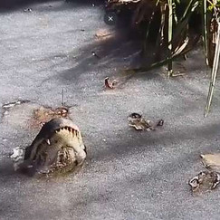How Do Alligators Survive In Icy Swamps? They Freeze In Just The Right Position