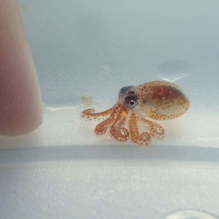 Marine Biologists Find The Cutest Pea-Sized Octopus Babies Ever