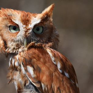 Eastern Screech Owl: Master of Disguise
