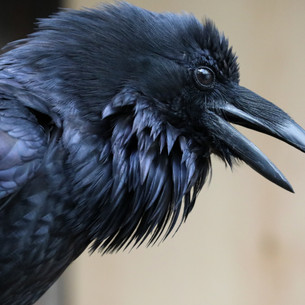 Remi the Raven: An Enrichment Success Story