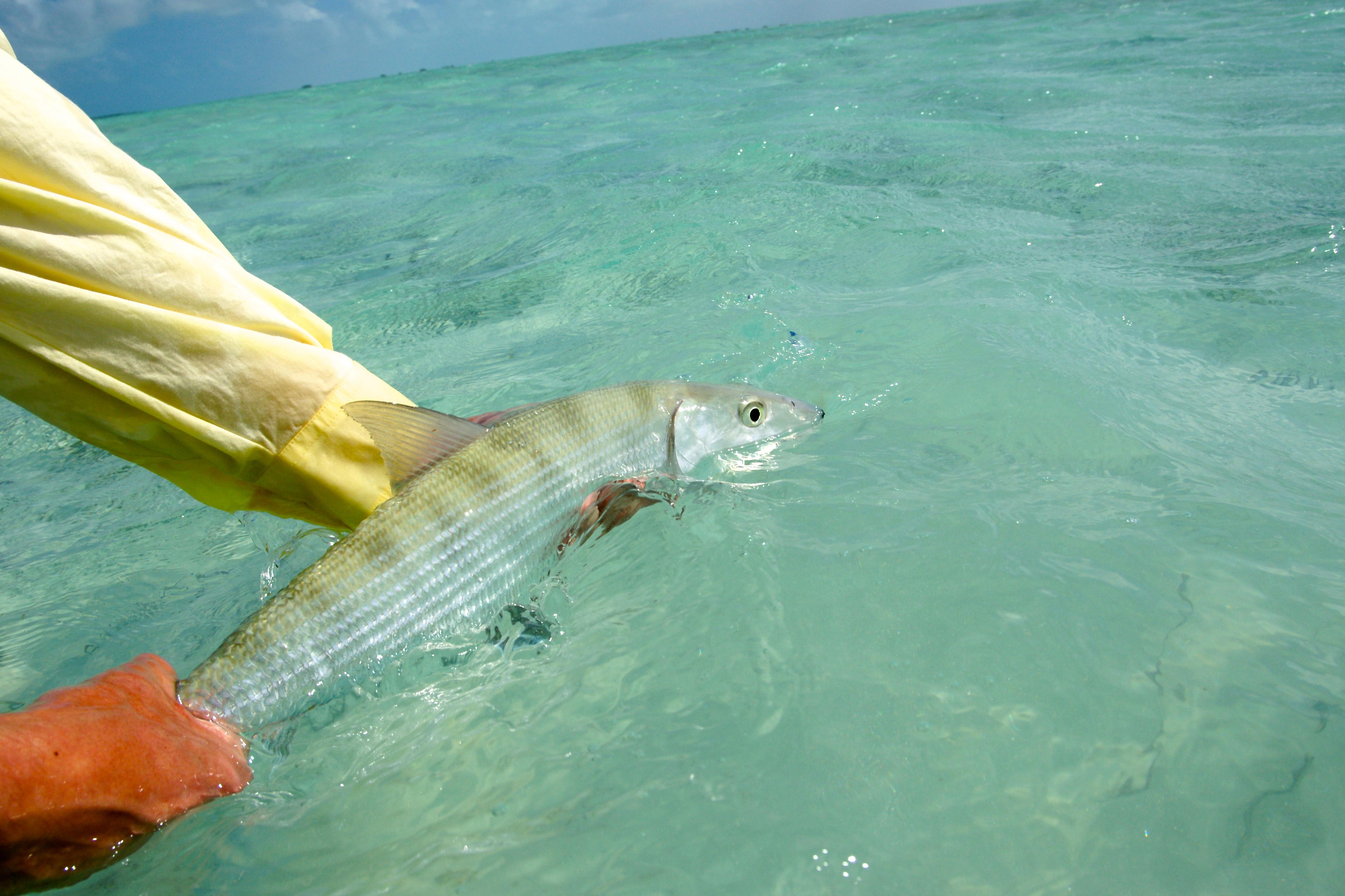 Les bonefish sont très combatifs