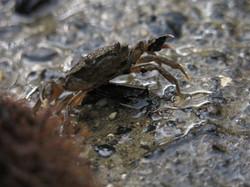 Crabe vert d'estuaire