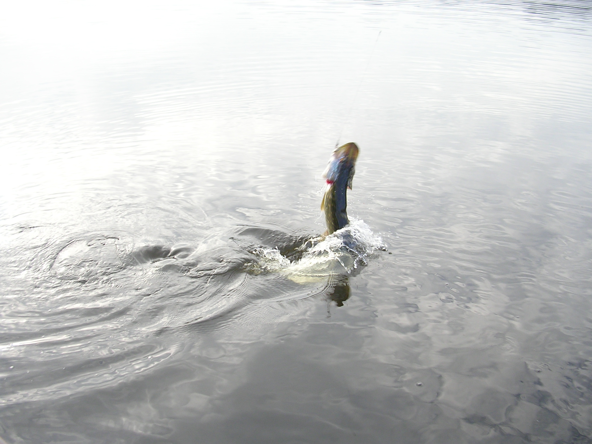 Des poissons acrobatiques