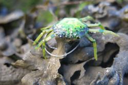 Petit crabe vert de Franck Ripault